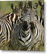 A Herd Of Zebras Standing Alert Metal Print