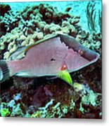 A Hogfish Swimming Above A Coral Reef Metal Print