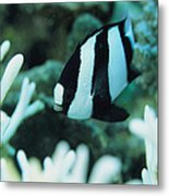 A Humbug Dascyllus Fish Swims Metal Print