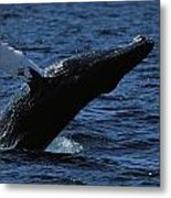 A Humpback Whale Breaching Metal Print