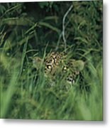 A Jaguar Peeks Out From The Foliage Metal Print