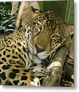 A Jaguar Rests On The Jungle Floor Metal Print