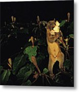 A Kinkajou Drinks Deeply Of Balsa Metal Print