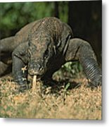 A Komodo Dragon Sensing The Air Metal Print