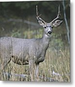 A Large Antlered White-tailed Deer Metal Print