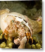 A Large Hermit Crab With Sea Anemones Metal Print