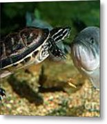 A Large Mouthed Bass And A Chicken Turtle In Aquarium In Cape Co Metal Print