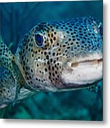 A Large Spotted Pufferfish Metal Print