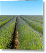 A Lavender Field In Early Summer Metal Print