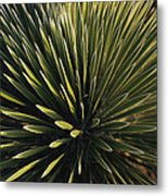 A Lechuguilla Plant In The Desert Metal Print