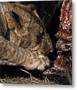 A Lion Feeding On The Carcass Of A Cape Metal Print