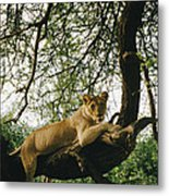 A Lion Panthera Leo Relaxes On A Tree Metal Print