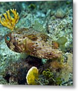 A Long-spined Porcupinefish, Key Largo Metal Print by Terry Moore