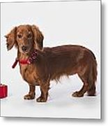 A Longhair Red Dachshund With A Small Metal Print