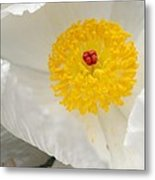 A Macro Of A White Mexican Poppy Flower Metal Print