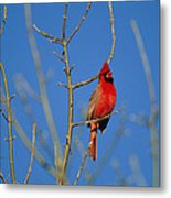 A Male Cardinal Sings In A Suburban Metal Print