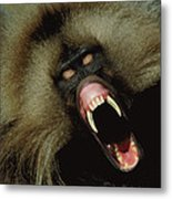 A Male Gelada Baboon Bares His Fangs Metal Print