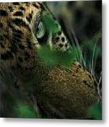 A Male Leopard Dozes Metal Print