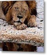 A Male Lion Panthera Leo Sleeps Metal Print