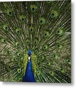 A Male Peacock Displays His Feathers Metal Print