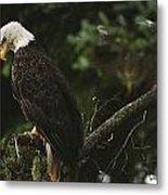 A Mature Bald Eagle Is Perched Atop Metal Print