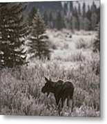 A Moose In A Frost-covered Field, Grand Metal Print