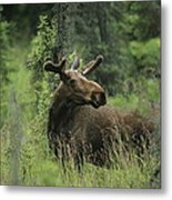 A Moose Stands In Tall Grass Metal Print