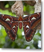A Moth Clings To Its Cocoon Immediately Metal Print