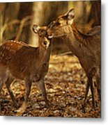 A Mother And Fawn Sika Deer Metal Print