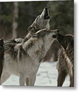 A Pack Of Gray Wolves, Canis Lupus Metal Print
