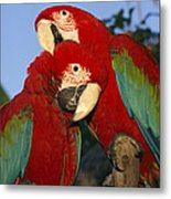 A Pair Of Captive Red-and-green Macaws Metal Print
