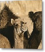 A Pair Of Dromedary Camels Pose Proudly Metal Print