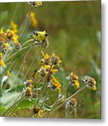 A Pair Of Goldfinches In Spokane Metal Print