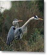 A Pair Of Great Blue Herons Stand Metal Print