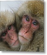 A Pair Of Japanese Macaques, Or Snow Metal Print