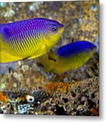 A Pair Of Juvenile Cocoa Damselfish Metal Print by Michael Wood