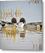 A Pair Of Northern Pintail Ducks  Metal Print