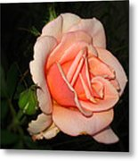 A Peach Of A Rose Metal Print