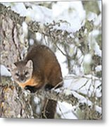 A Pine Marten Looks For Food Metal Print