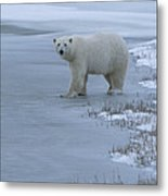 A Polar Bear Stepping Onto Ice Metal Print