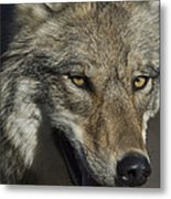 A Portrait Of A Gray Wolf Metal Print