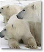 A Portrait Of A Polar Bear Mother Metal Print
