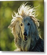 A Portrait Of An Afghan Hound Metal Print