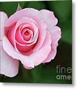 A Pretty Pink Rose Metal Print