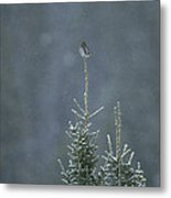 A Pygmy Owl Perched In The Top Of An Metal Print