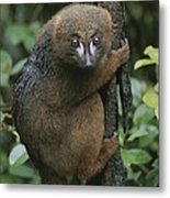 A Red-bellied Lemur Clings To A Tree Metal Print