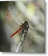 A Red Dragonfly Metal Print