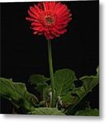 A Red Gerbera In A Pot Metal Print
