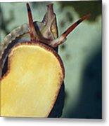 A Red Lip Triton Snail Charonia Metal Print