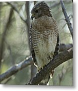 A Red Shouldered Hawk Perches In A Tree Metal Print